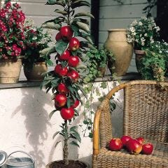 Apple Red Spur