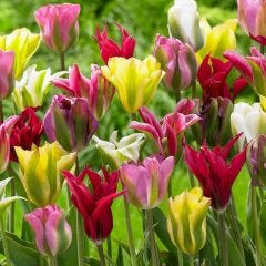 Viridiflora Tulips Mixed