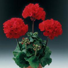 6 Geranium Grandeur Red