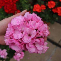 6 Geranium Grandeur Pink