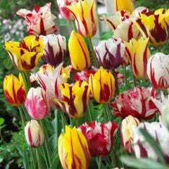Rembrandt Tulips Mixed
