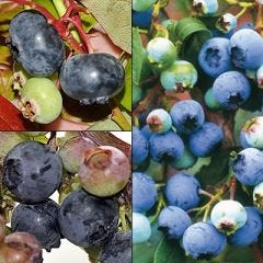 BLUEBERRY PLANT COLLECTION