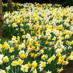 Daffodil and Narcissi Mixed