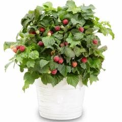 RASPBERRY 'YUMMY' (1 X 3 LITRE POT)