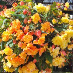 Begonia Apricot Shades Enhanced