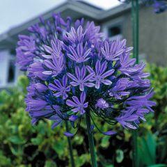 Agapanthus Blue Peter