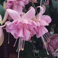 6 Giant Trailing Fuchsia Holly's Beauty