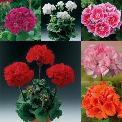 24 Geranium Grandeur Collection