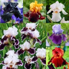6 Bearded Iris Collection
