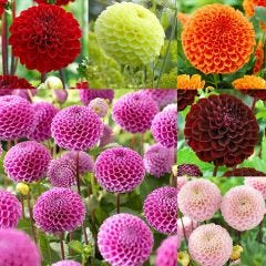 6 Pompom Dahlia Collection