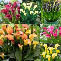 6 Zantedeschia Collection (Calla Lily)
