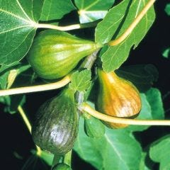 'BROWN TURKEY' FIG TREE
