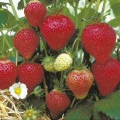 'FLORENCE' STRAWBERRY PLANT - PACK OF 12