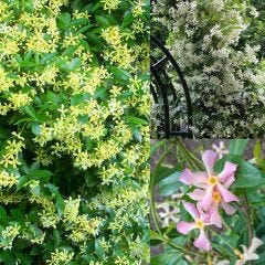 3 Trachelospermum Collection (Star Jasmine)