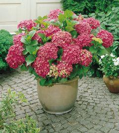 Hydrangea Rosy Summer